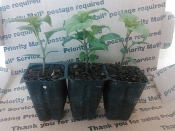 3 Pack of Plants - The Chocolate Reaper