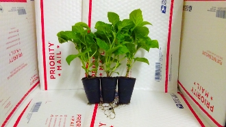 3 Pack of Plants - Chocolate Moruga Scorpion