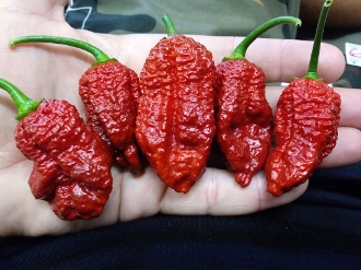 Bhutlah BubbleGum 7 Pot Chocolate - 20+ Seeds