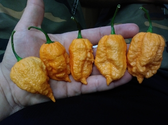 The Peach Ghorpion (Ghost Scorpion) - 20+ Seeds