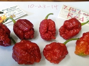 7 Pot LAVA Red - 20+ Seeds